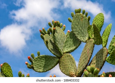 Green flat rounded cladodes of opuntia cactus with buds against blue sky with white clouds in Israel.