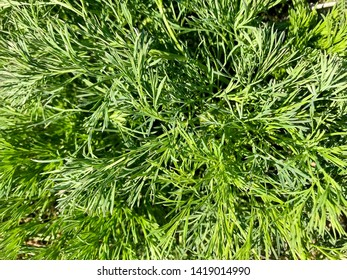 Green floral background of fluffy grass