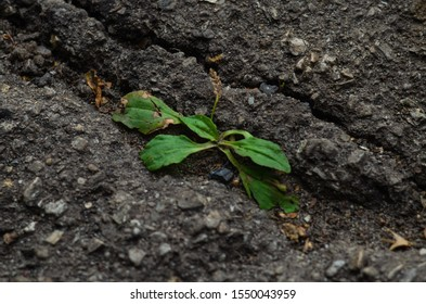 Green flower breaks through the asphalt