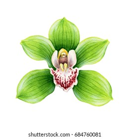 Green flower of cymbidium orchid. Tropical plant. Hand painted illustration isolated on white background. Realistic botanical art.