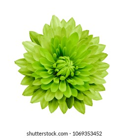 Green flower dahlia  on a white isolated background with clipping path.   Closeup.  no shadows.  For design.  Nature.