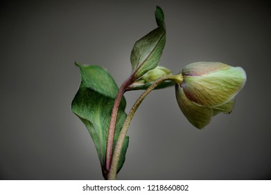 green flower with an expressive bud, gray background.