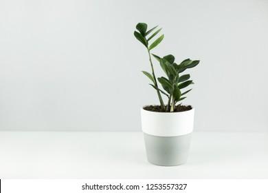 Green flower in flowerpots on a gray-white background Scandinavian style