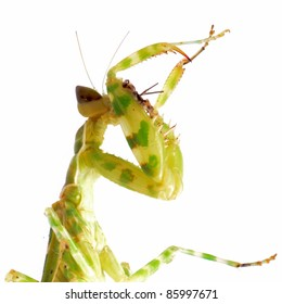 green flower praying mantis isolated