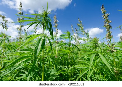 green flowering hemp (cannabis) field with summer blue sky and white clouds. agricultural hemp, which is made of oil, rope, cloth