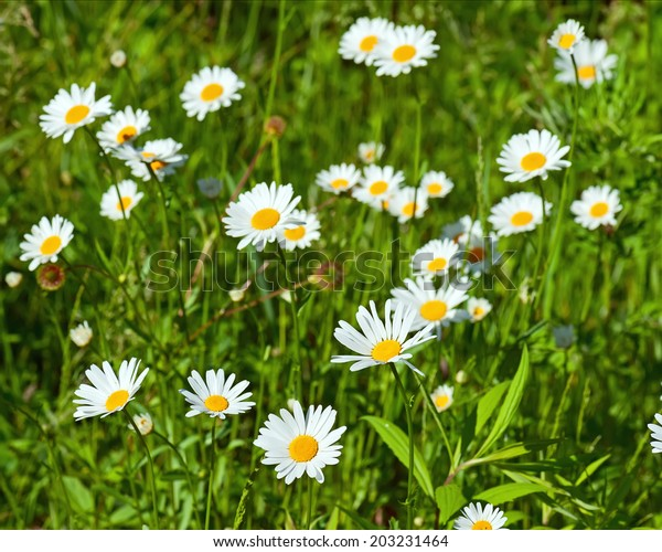 Green flowering meadow with white daisies. Natural background.