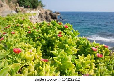 Green flowering succulent plants growing on a rocky mountain with fantastic sea view background at sunny summer day. Natural background photography with scenic view of beautiful seascape.
