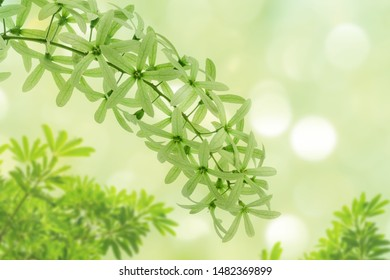 green flowers bouquet with bokeh background, ( purple wreath or queen's wreath or sandpaper vine or petrea volubilis )