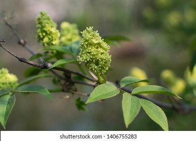 Green flowers and buds of Sambucus racemosa, elderberry or red-berried elder close up on blurred background