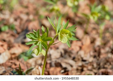 Green flowers of hellebores blooming during early spring.