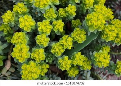 "Green flowers of Myrtle Euphorbia ""Euphorbia myrsinites"", the myrtle spurge, blue spurge or broad-leaved glaucous-spurge. Selective focus"