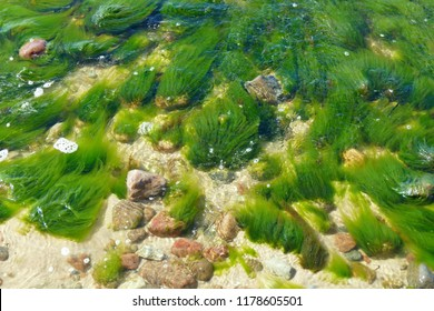 Green fluffy seaweeds in shallow water which are agitated by a current - Baltic sea near Miedzyzdroje, Poland,