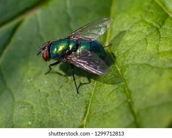Green fly on a raspberry leaf closeup