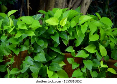 Green foliage of devil's ivy, golden pothos, hunter's robe, (Epipremnum aureum Bunting cv. Tricolor). Refreshing by decorate the garden with ivy surrounded by trees and greenery.