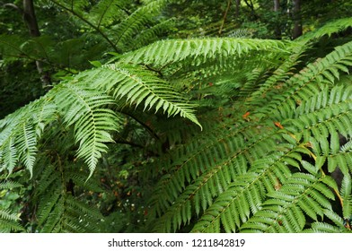 Green foliage of fern in tropical forest.