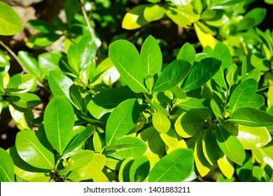 Green foliage of gummy gardenia plant (gardenia gummifera)