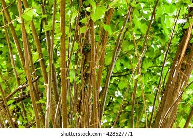Green foliage of hazelnut tree