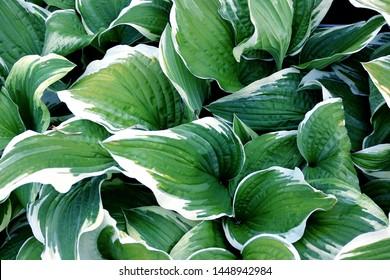 Green foliage of Hosta Albo-marginata, leaves of hosta background