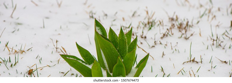 Green foliage plants and snow. Spring season, March. Web banner.