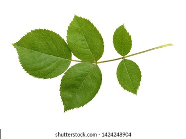 A green foliage of rose flower leaf, isolated white background