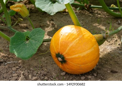Green food, close up to an Uchiki Kuri pumpkin, ready to harvest