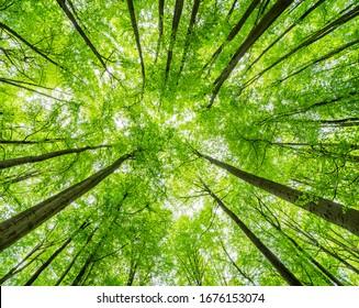 Grüner Wald der Buchen Bäume, nach oben, Low-Winkel-Aufnahme