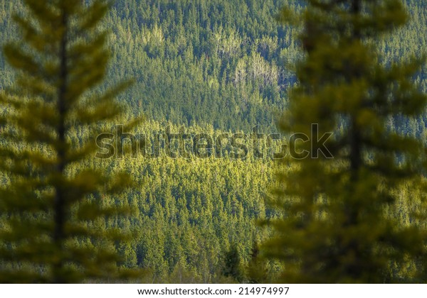 Green forest Canada