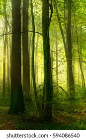 Green Forest of Deciduous Trees Illuminated by Sunbeams through Fog