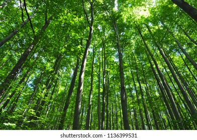 green forest high trees trunks