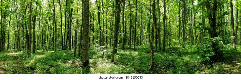 Green forest landscape. Panorama