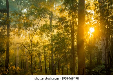Green forest light in Queensland Australia. Sunbeams spread out through the trees. Golden light rays in the mist. Sun in fog.