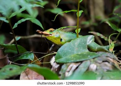 Green forest lizard (Calotes calotes) adamid lizard from Sinharaja Forest , Sri Lanka