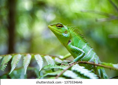 A Green Forest Lizard (Calotes calotes) remains motionless sitting on top of a large Fern leaf in the pristine forests of Sinharaja Forest Reserve in Sri Lanka, a protected UNESCO World Heritage Site.