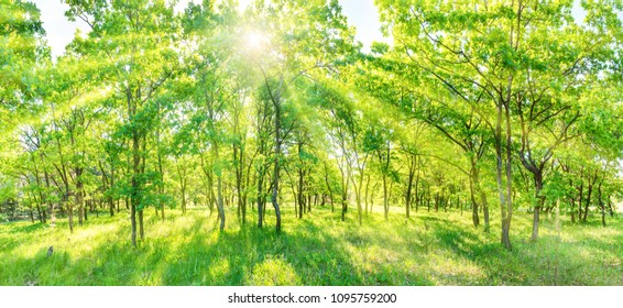 Green forest panorama - panoramic landscape with sun rays light shining through trees