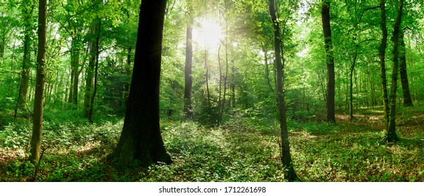 Green forest panorama in summer with bright sun shining through the trees