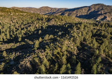 Green forest of pine trees under the golden light of a California sunrise.