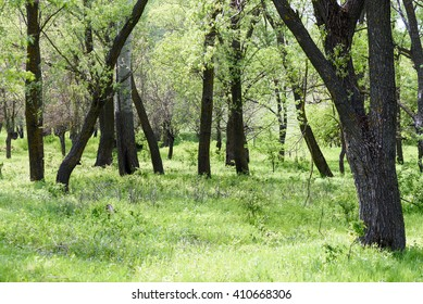 Green forest in spring time with trees and grass