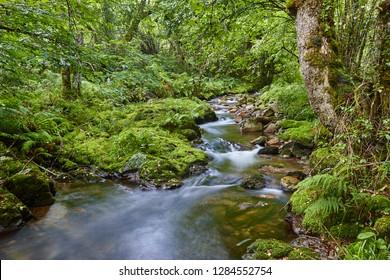 Green forest with stream in Muniellos biosphere reserve, Asturias. Spain
