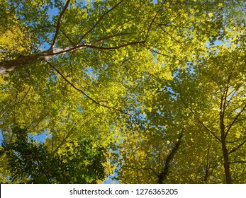 Green Forest in the summer. Looking up the treetops