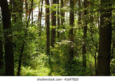 Green forest in summer, Poland
