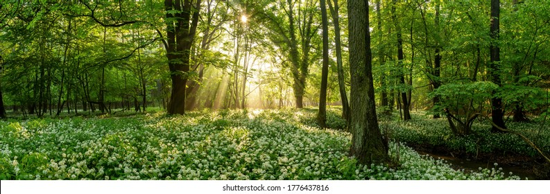 Green forest in summer at sunrise. Panorama of a secluded glade with sun rays shining onto a sea of ramsons. White bear's garlic flowers in tree shade.