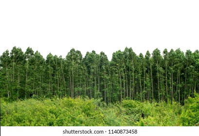 Green forest tree isolated on white background.