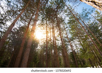 Green forest. Tree with green Leaves and sun light. Bottom view background. Natural photo.