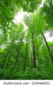 Green forest wood in spring