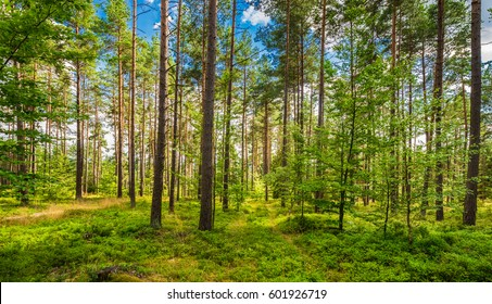 Green forest woodland scenery on a beautiful spring day with blue sky, clouds and sunshine.