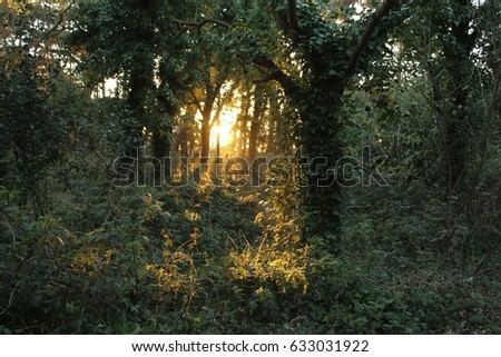 Green Forrest Backlighted by Golden Sunshine Just Before Sunset