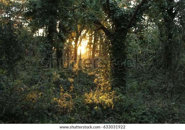 Green Forrest Backlighted by Golden Sunshine Just Before Sunset