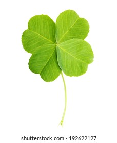 Green four-leaf clover leaf isolated on white background.