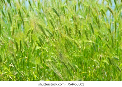 Green foxtail barley ears texture. Grass background. Shallow DOF.