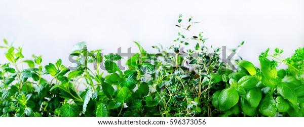 Grüne, frische Kräuter - Melissa, Minze, Thymian, Basilikum, Petersilie auf weißem Hintergrund. Banner-Collage Rahmen aus Pflanzen. Kopiert Platz. Draufsicht. Toneffekt